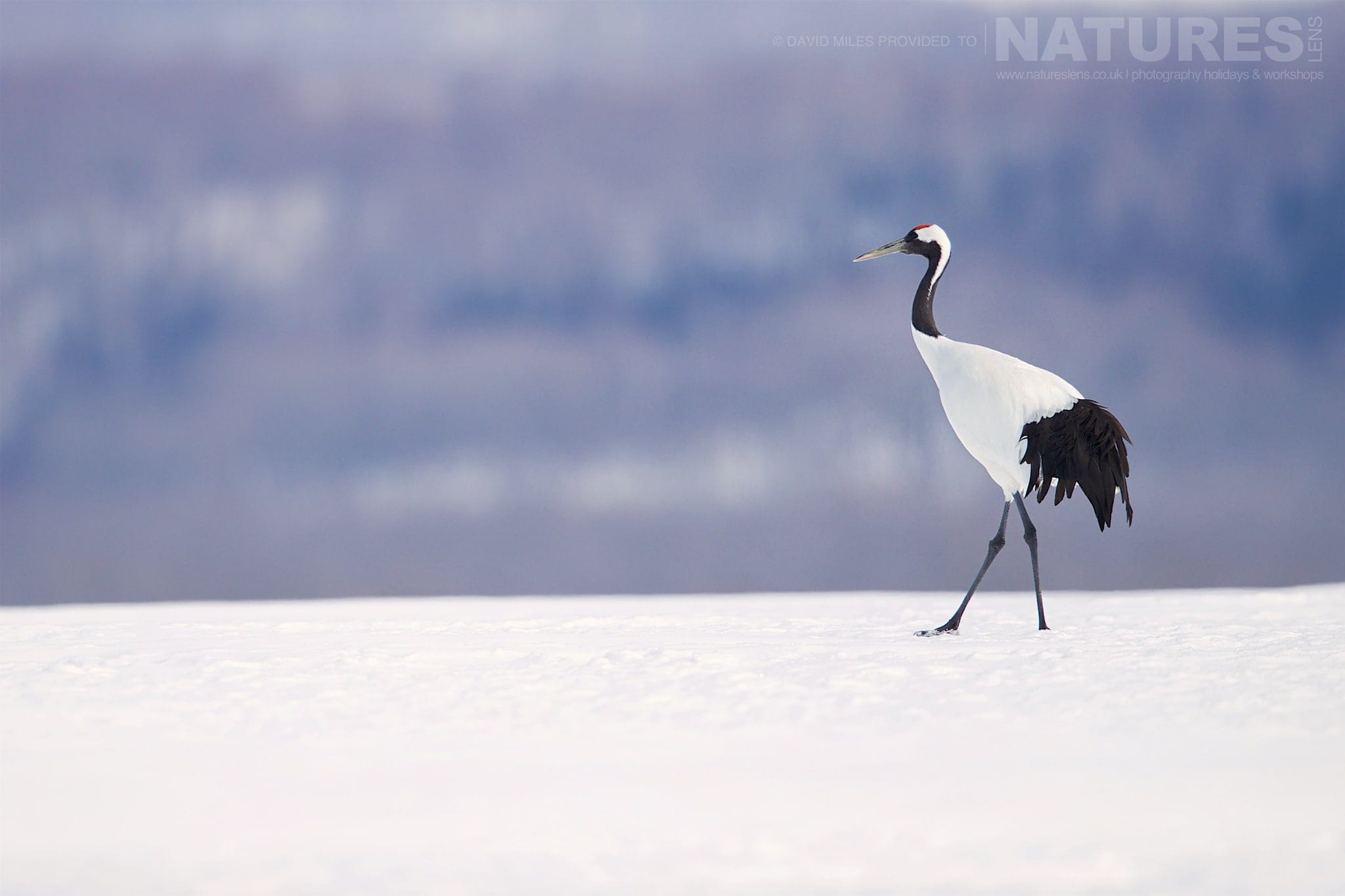One Of The Red Crowned Cranes Strides Across A Snow Covered Field Outside Tsurui   Photographed During The Winter Wildlife Of Japan Photography Holiday