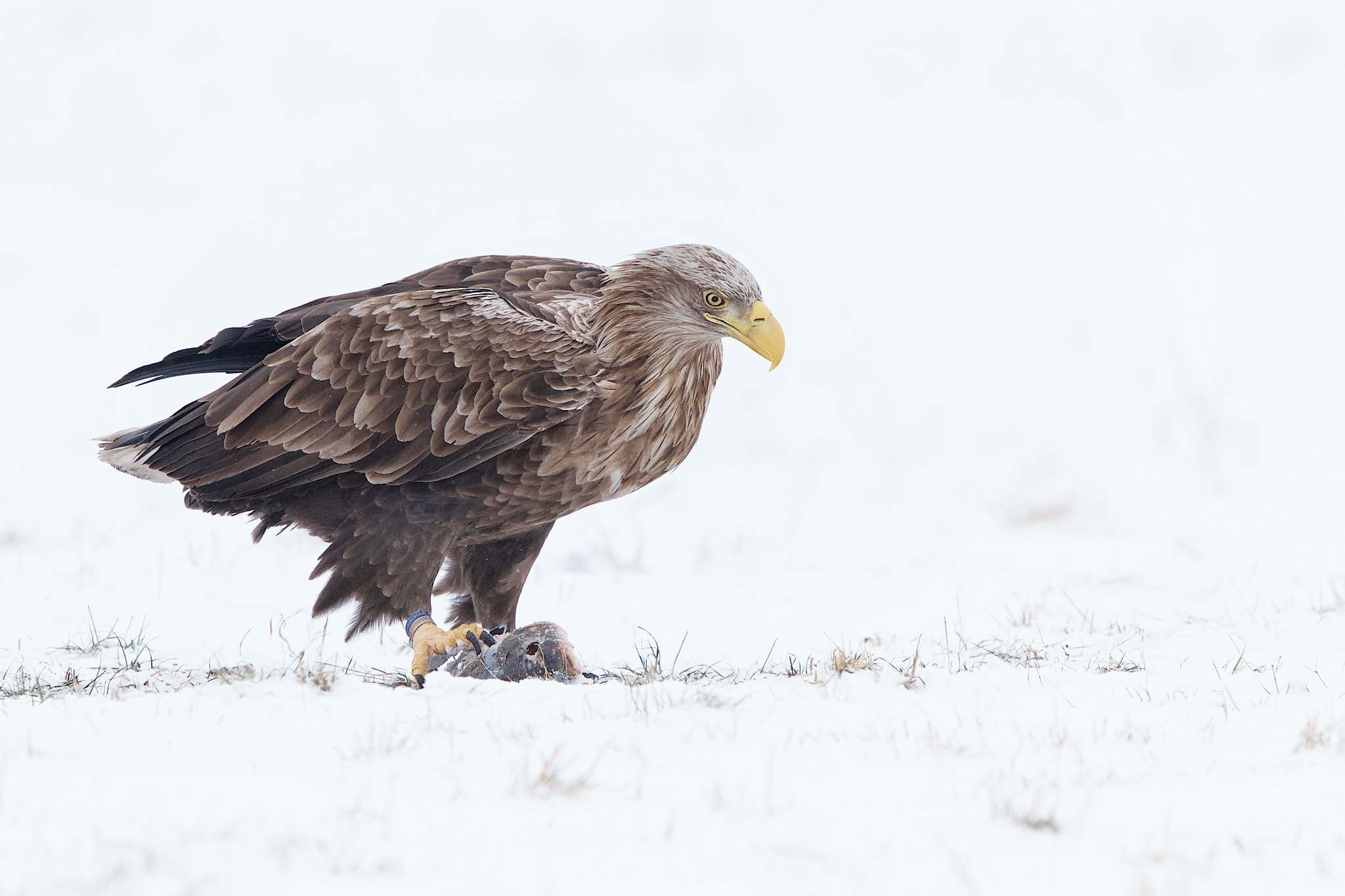 One Of The White Tailed Sea Eagles On The Snow Of A Frozen Pasture Photographed At The Locations Used For The NaturesLens White Tailed Sea Eagles Of Lithuania Photography Holiday