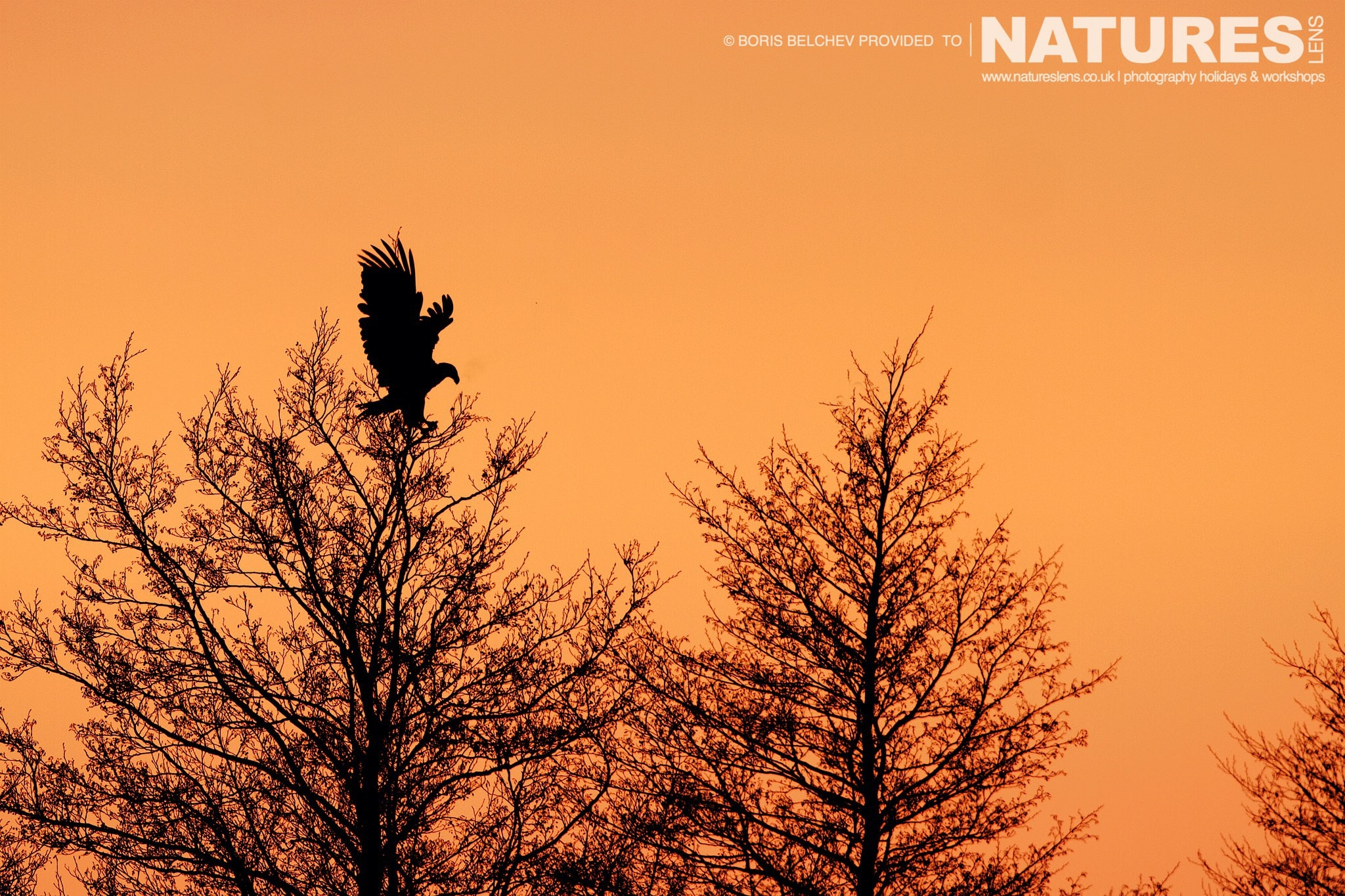 One Of The White Tailed Sea Eagles Sits High In The Trees Above The Nemunas Delta Photographed At The Locations Used For The NaturesLens White Tailed Sea Eagles Of Lithuania Photography Holiday
