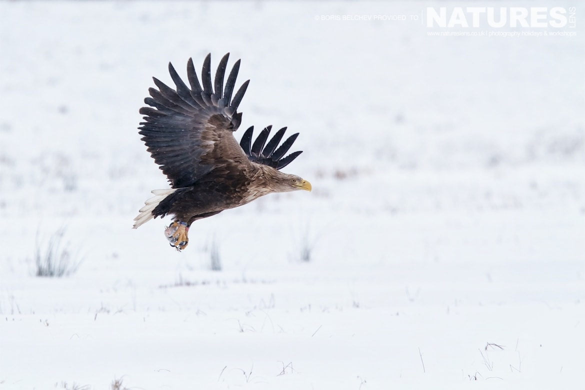 One Of The White Tailed Sea Eagles Takes Flight From The Snow   Photographed At The Hide Used For The NaturesLens White Tailed Sea Eagles Of Lithuania Photography Holiday