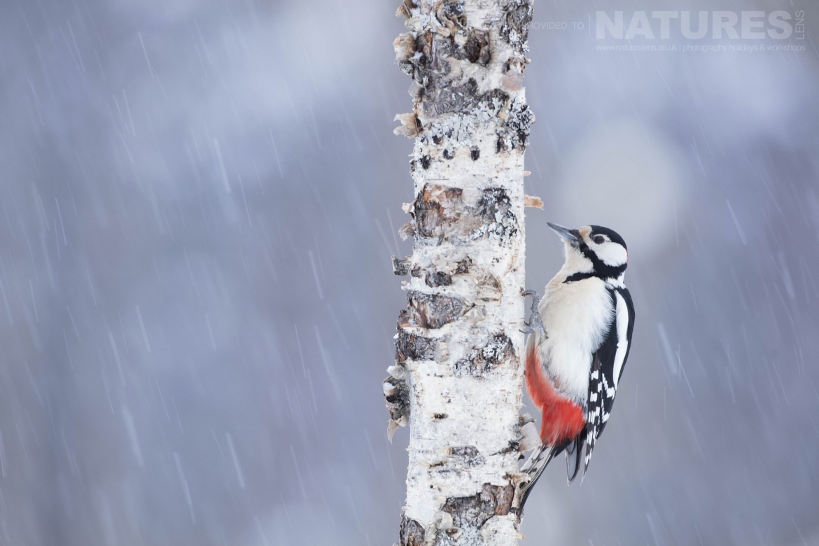 One Of The Localities Woodpeckers   Photographed During The Golden Eagles Of The Swedish Winter Photography Holiday