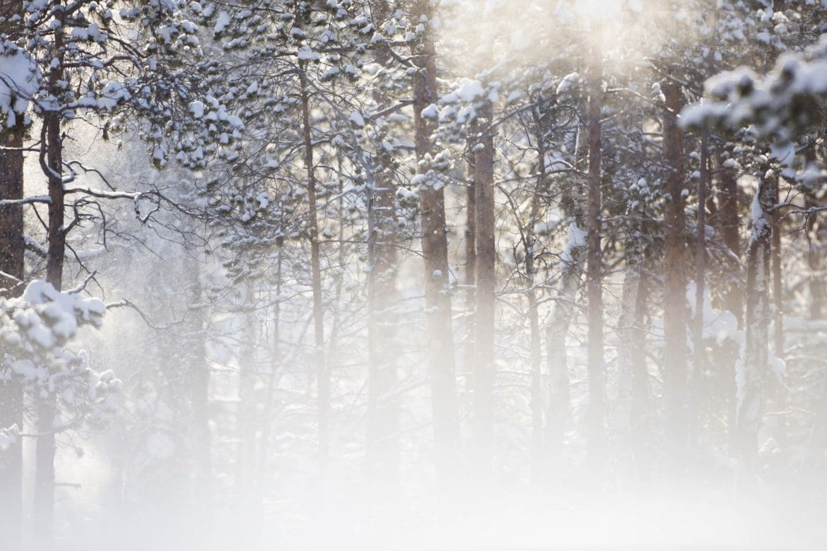 Snow Covered Trees   Photographed During The Golden Eagles Of The Swedish Winter Photography Holiday