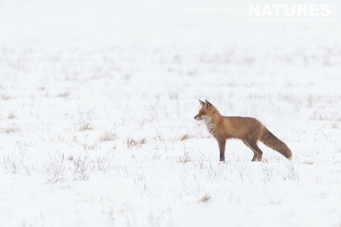 A red fox runs across a backdrop of dead grass on the Nemunas Delta - photographed at the hides & locations used for the NaturesLens White-tailed Sea Eagles of Lithuania Photography Holiday