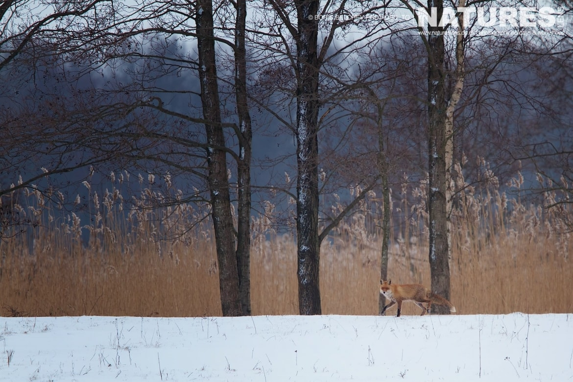 A red fox spots the hide on the Nemunas Delta - photographed at the hides & locations used for the NaturesLens White-tailed Sea Eagles of Lithuania Photography Holiday