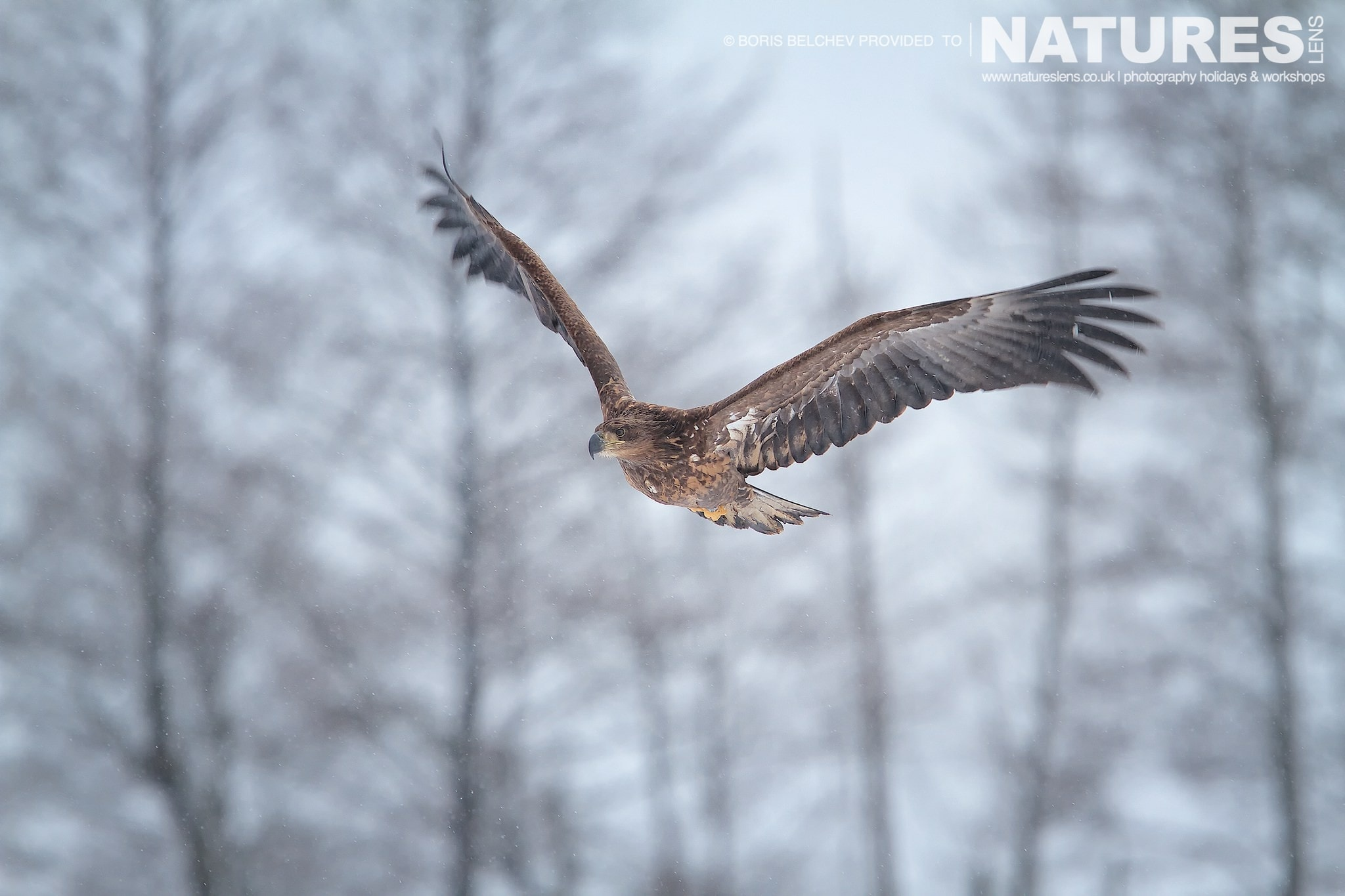 One of the White-tailed Sea Eagles soars aboves the pastures of the Nemunas Delta - photographed at the hides & locations used for the NaturesLens White-tailed Sea Eagles of Lithuania Photography Holiday