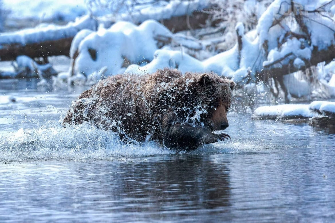 A Grizzly Bear Grabbing For Salmon In The River   Captured During The Natureslens Ice Grizzlies Of The Yukon Photography Holiday