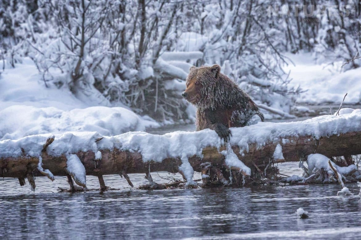 A Grizzly Bear In The River With Its Paw Draped Casually Over A Log Captured During The Natureslens Ice Grizzlies Of The Yukon Photography Holiday