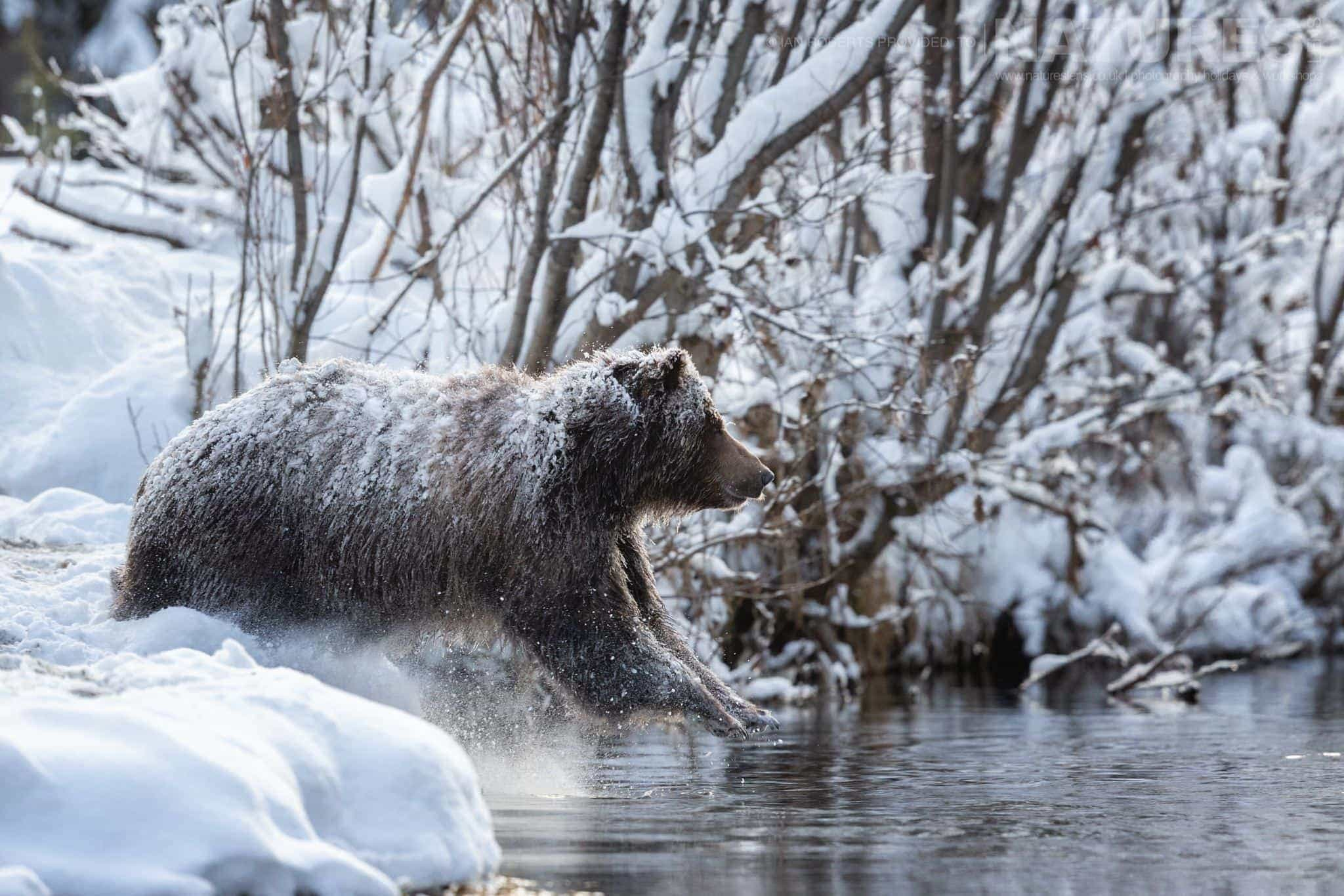 A Grizzly Bear Leaps From The Snowy Banks Into The River   Captured During The Natureslens Ice Grizzlies Of The Yukon Photography Holiday