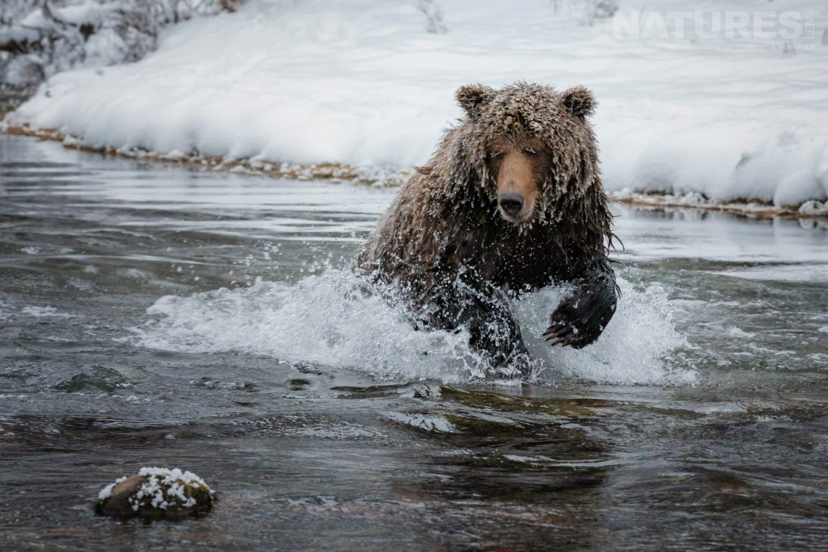 A Grizzly Bear Making A Splash In The River Captured During The Natureslens Ice Grizzlies Of The Yukon Photography Holiday