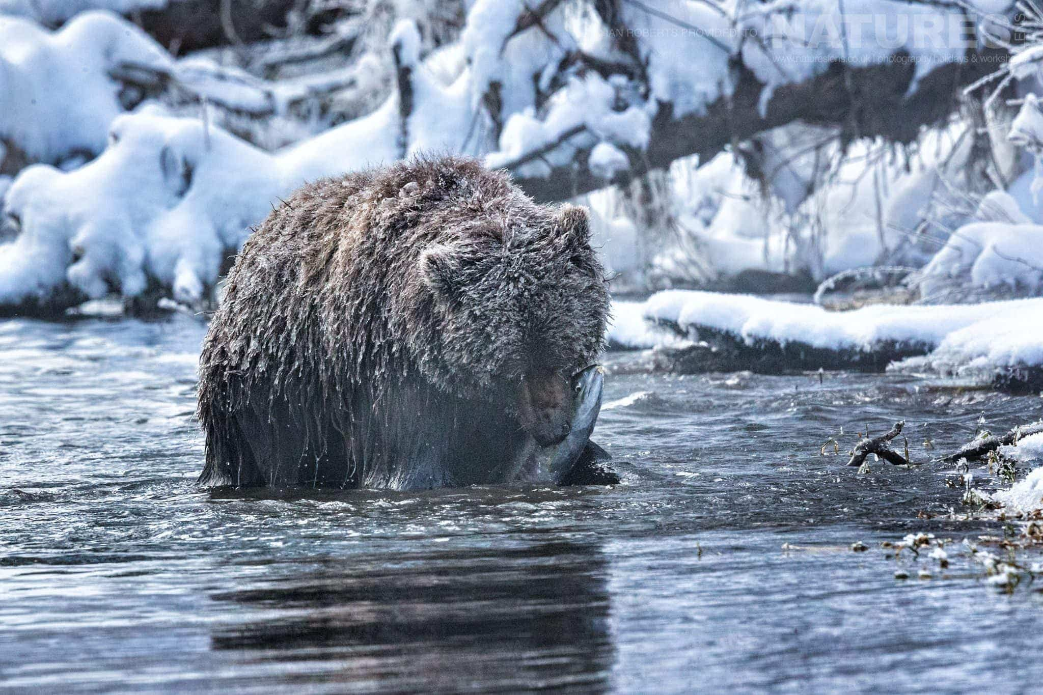 A Grizzly Bear Pulls Salmon Out Of The Stream   Captured During The Natureslens Ice Grizzlies Of The Yukon Photography Holiday
