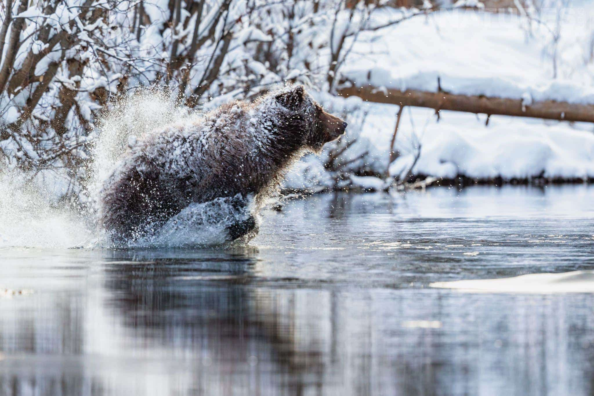 A Grizzly Bear Running Across The River   Captured During The Natureslens Ice Grizzlies Of The Yukon Photography Holiday