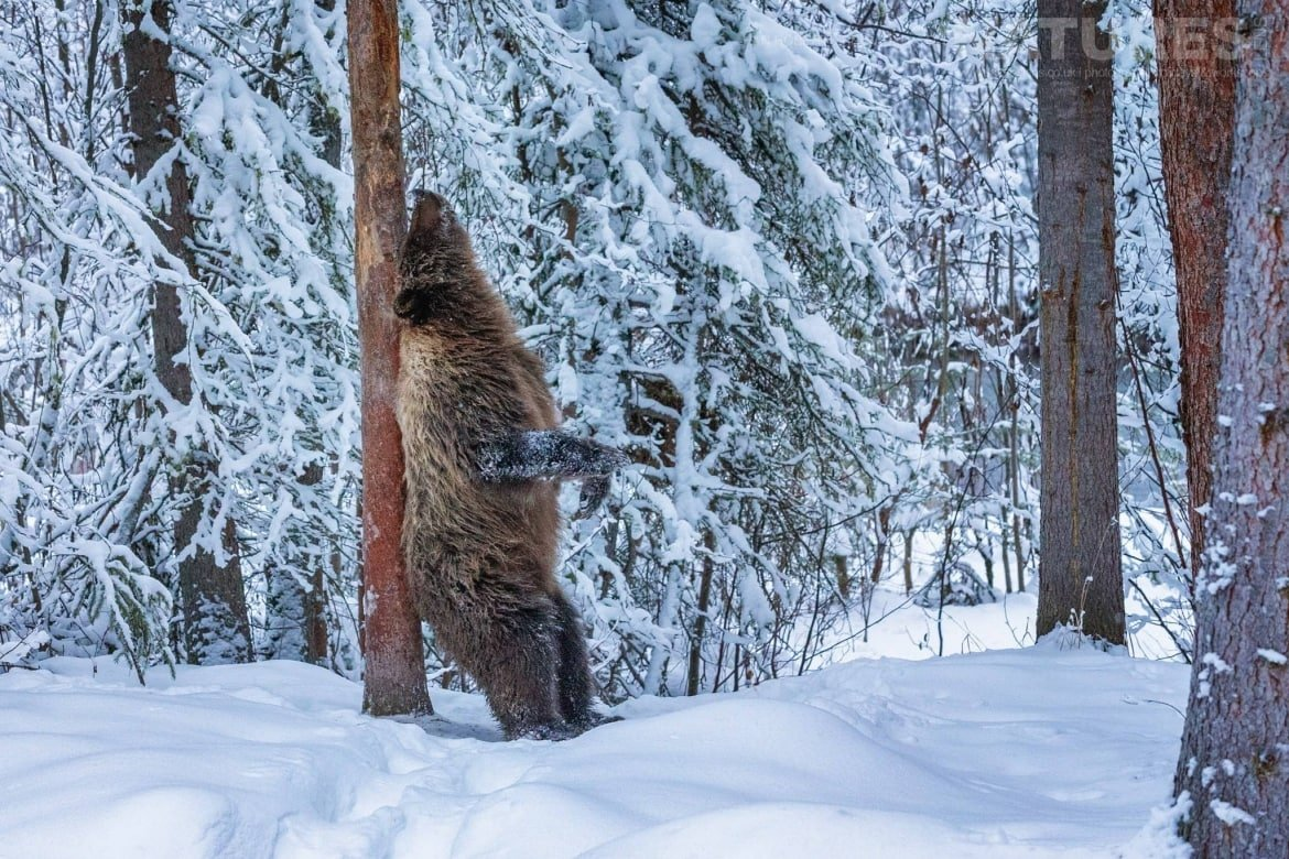 A Grizzly Bear Scratches His Back Against A Tree   Captured During The Natureslens Ice Grizzlies Of The Yukon Photography Holiday