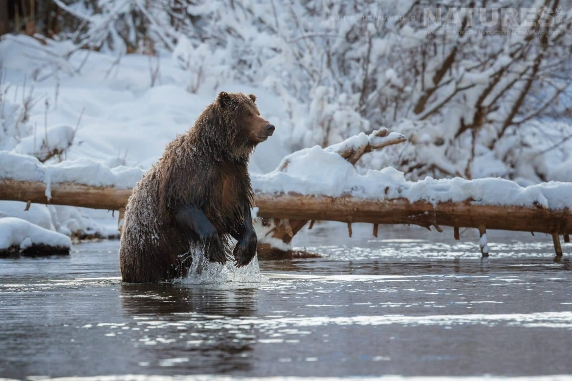 A Grizzly Bear Standing Upright In The River Captured During The Natureslens Ice Grizzlies Of The Yukon Photography Holiday