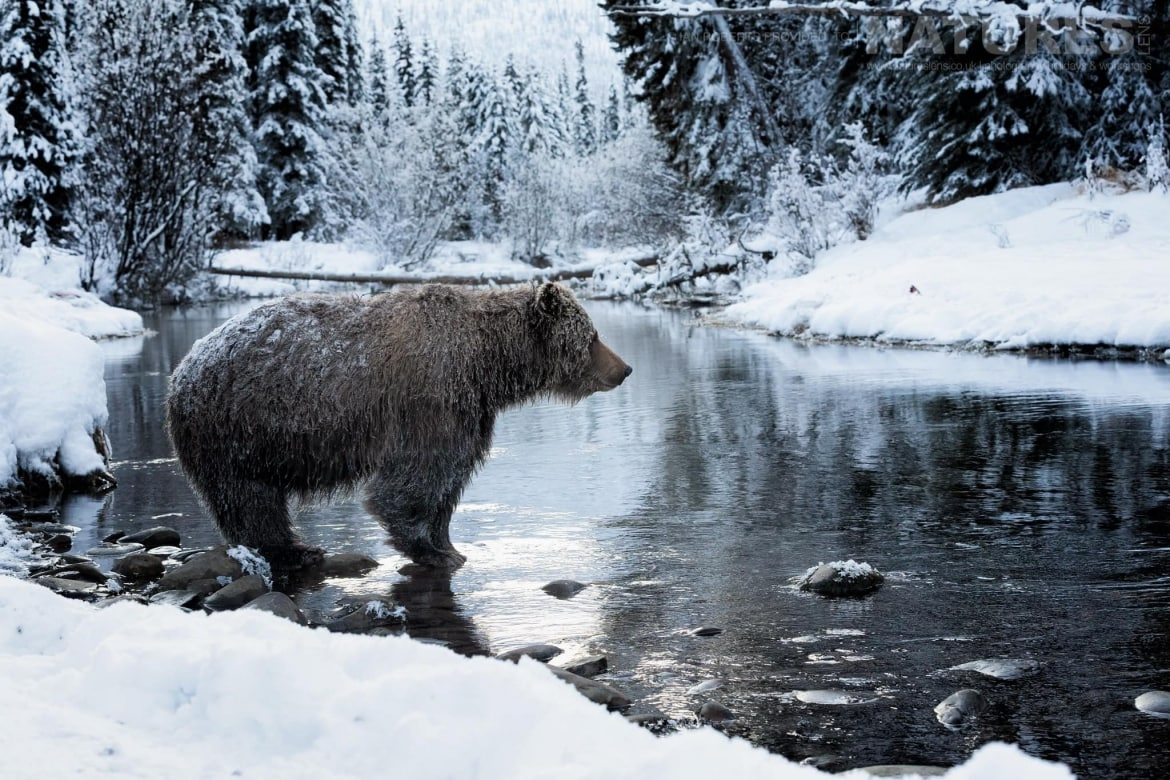 A Grizzly Bear Stands On Rocks In A Creek   Captured During The Natureslens Ice Grizzlies Of The Yukon Photography Holiday