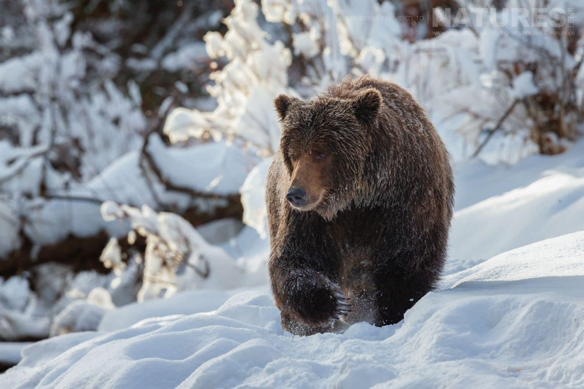 A Grizzly Bear Walking Through The Snow Captured During The Natureslens Ice Grizzlies Of The Yukon Photography Holiday