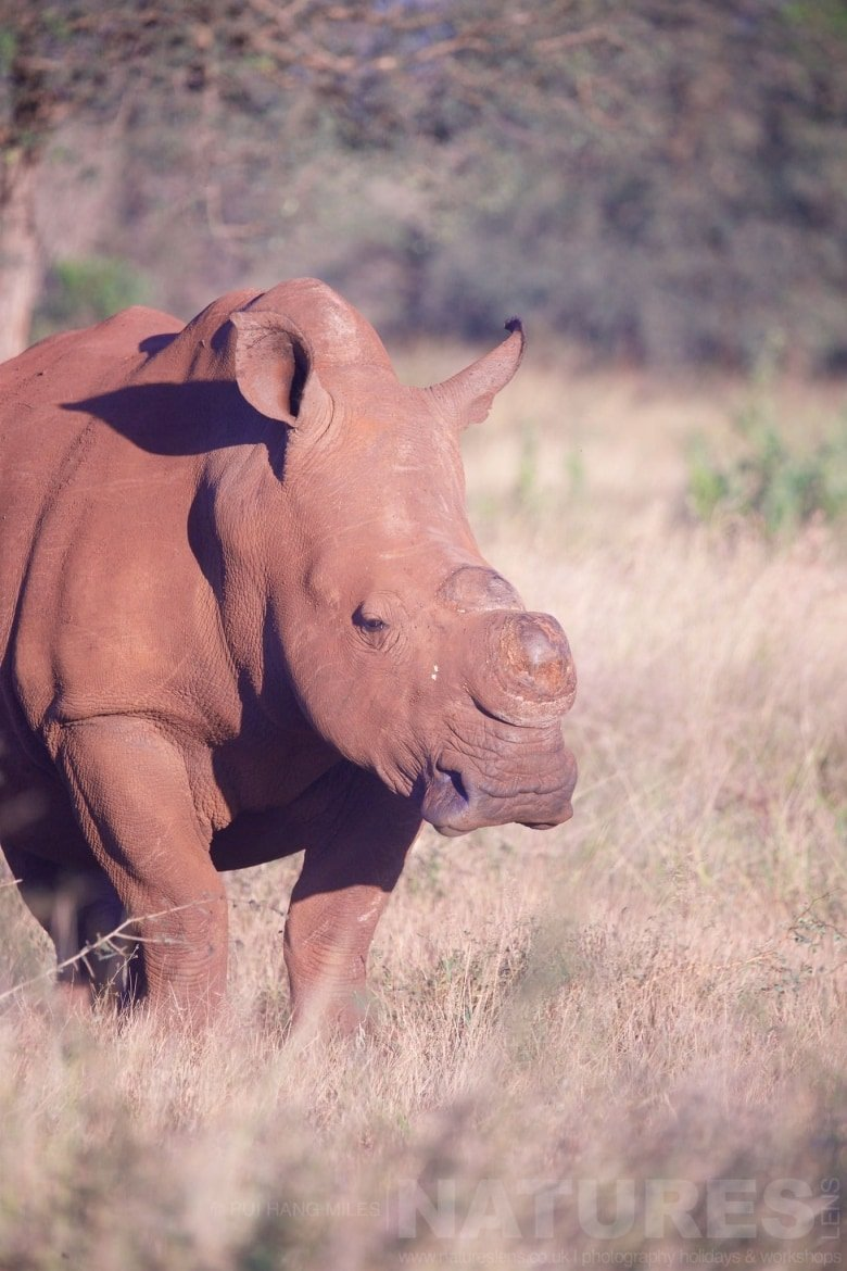 A De Horned White Rhinoceros   Captured During The Natureslens South African Wildlife Zimanga Photography Holiday