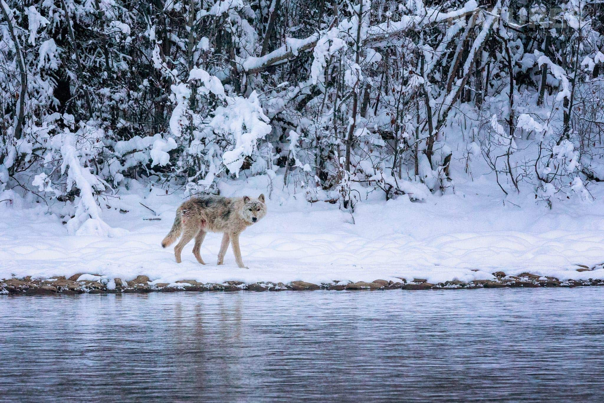 A Gray Wolf Looks Across The Creek   Captured During The Natureslens Ice Grizzlies Of The Yukon Photography Holiday