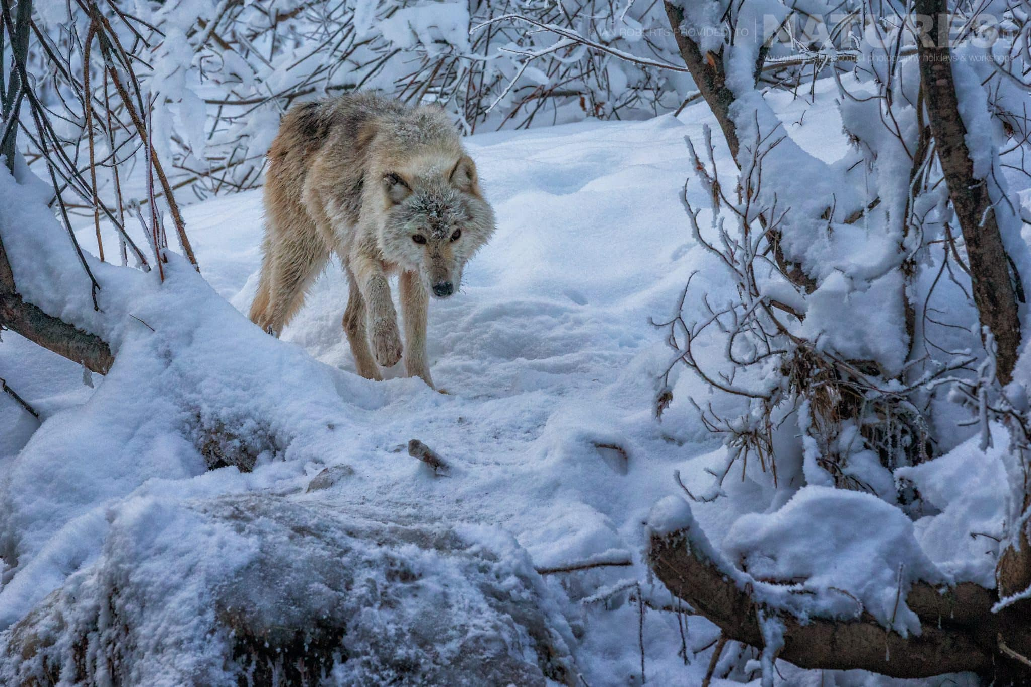 A Gray Wolf Searches For Food   Captured During The Natureslens Ice Grizzlies Of The Yukon Photography Holiday