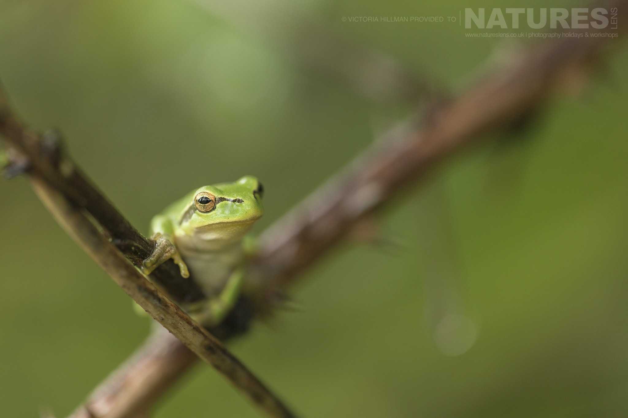 A Juvenile European Tree Frog   One Of The Species That May Be Photographed During The NaturesLens Reptiles & Amphibians Of Bulgaria Photography Holiday