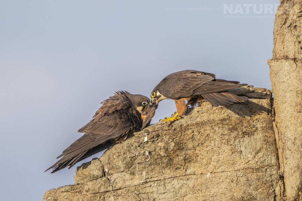 A pair of Eleonoras Falcons squabble over captured prey photographed on Sardinia the location for the Eleonoras Falcons of Sardinia Photography Holiday