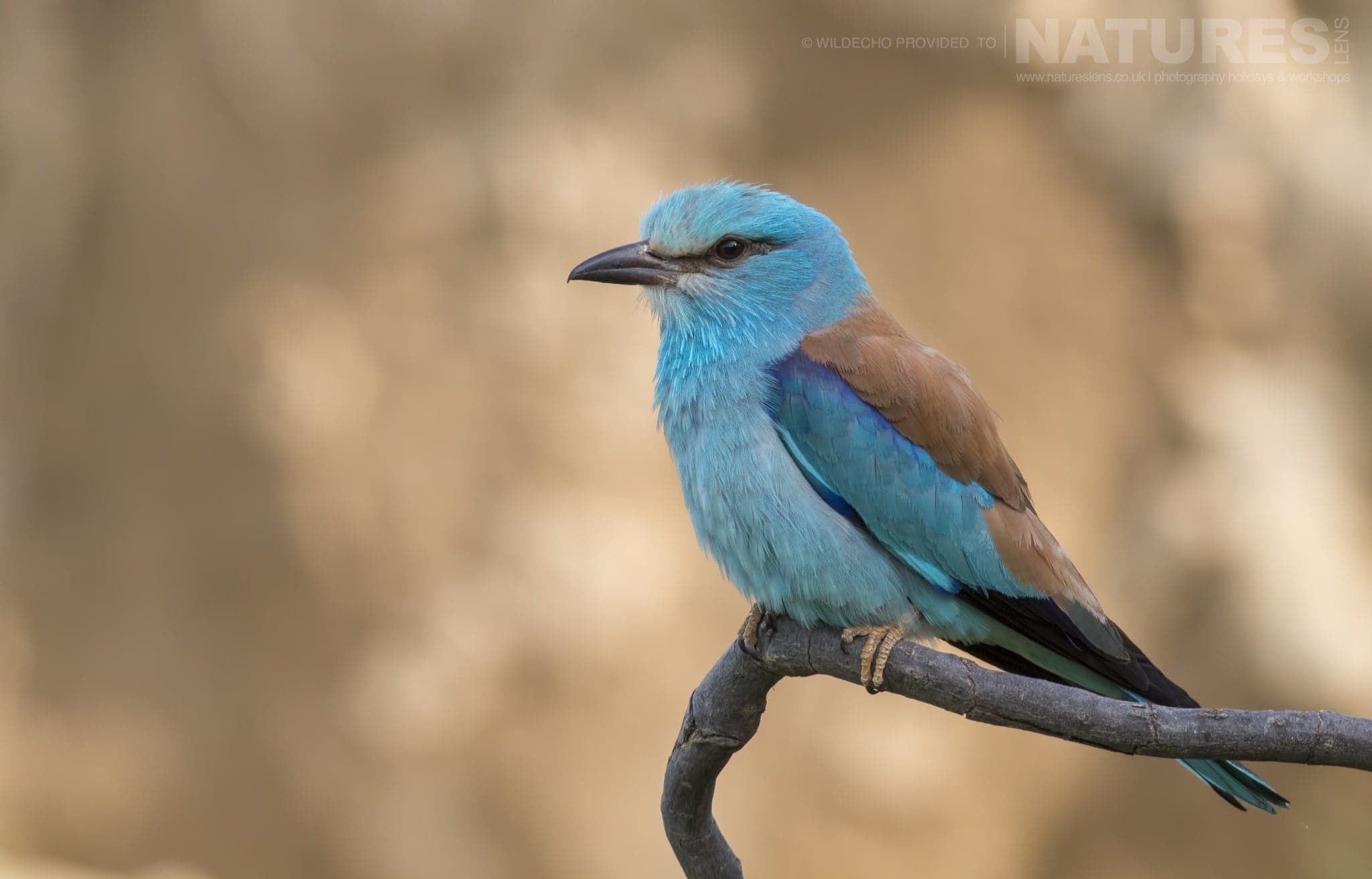 A Perched European Roller   Typical Of The Type Of Image That May Be Captured During The Rollers & Bee Eaters Of Bulgaria Photography Holiday.jpg