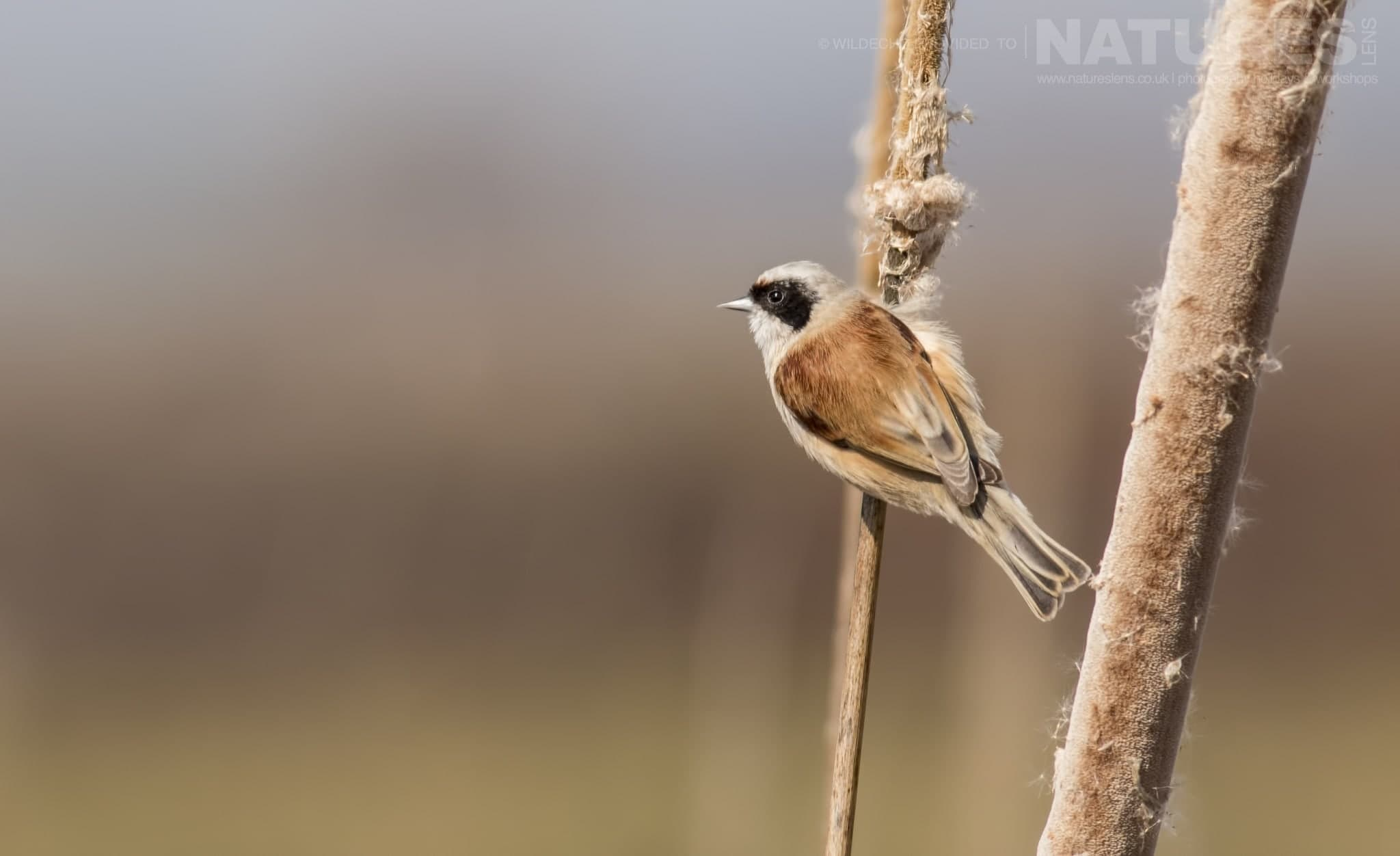 A Perched Penduline Tit   Typical Of The Type Of Image That May Be Captured During The Rollers & Bee Eaters Of Bulgaria Photography Holiday.jpg