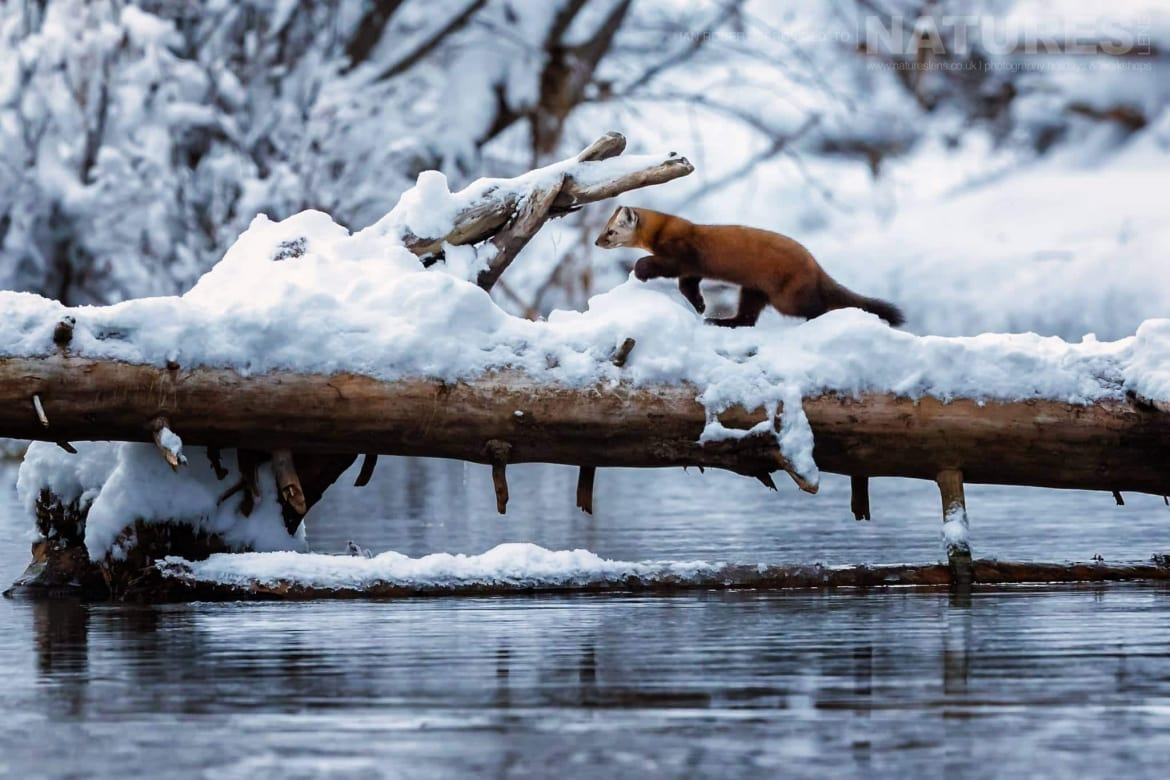 A Pine Marten Runs Across A Log   Captured During The Natureslens Ice Grizzlies Of The Yukon Photography Holiday
