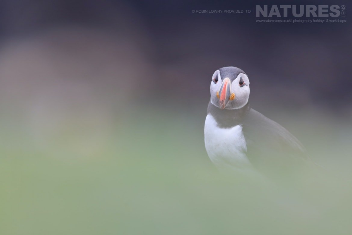 A Solitary Puffin   Photographed During A NaturesLens Puffin Photography Holiday