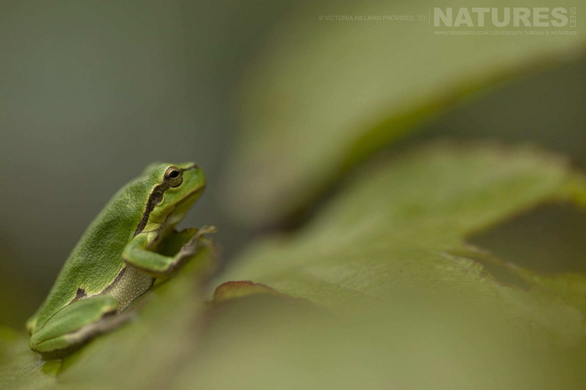 A Young European Tree Frog   One Of The Species That May Be Photographed During The NaturesLens Reptiles & Amphibians Of Bulgaria Photography Holiday