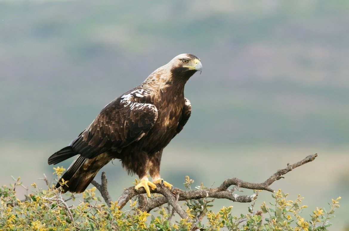 An Imperial Eagle Photographed At The Location Used For The NaturesLens Bonellis, Golden & Imperial Eagles Of Spain Photography Holiday