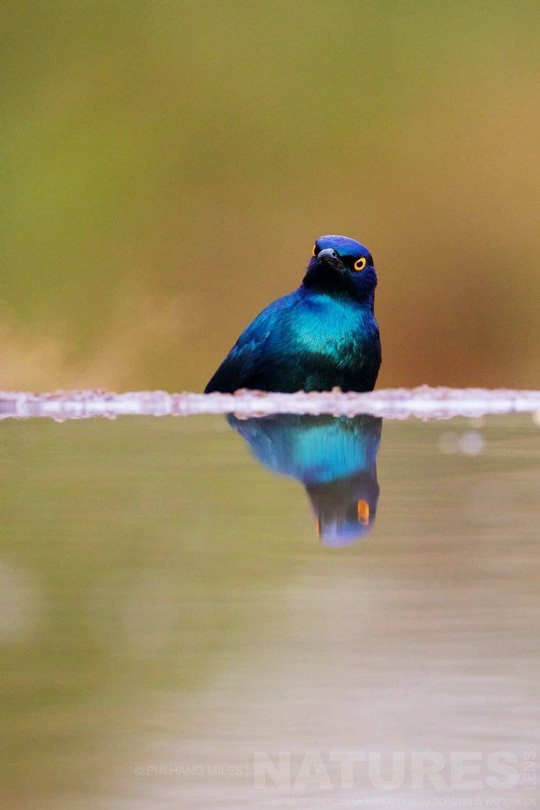 An Angry Looking Cape Glossy Starling   Captured During The Natureslens African Wildlife Zimanga Photography Holiday