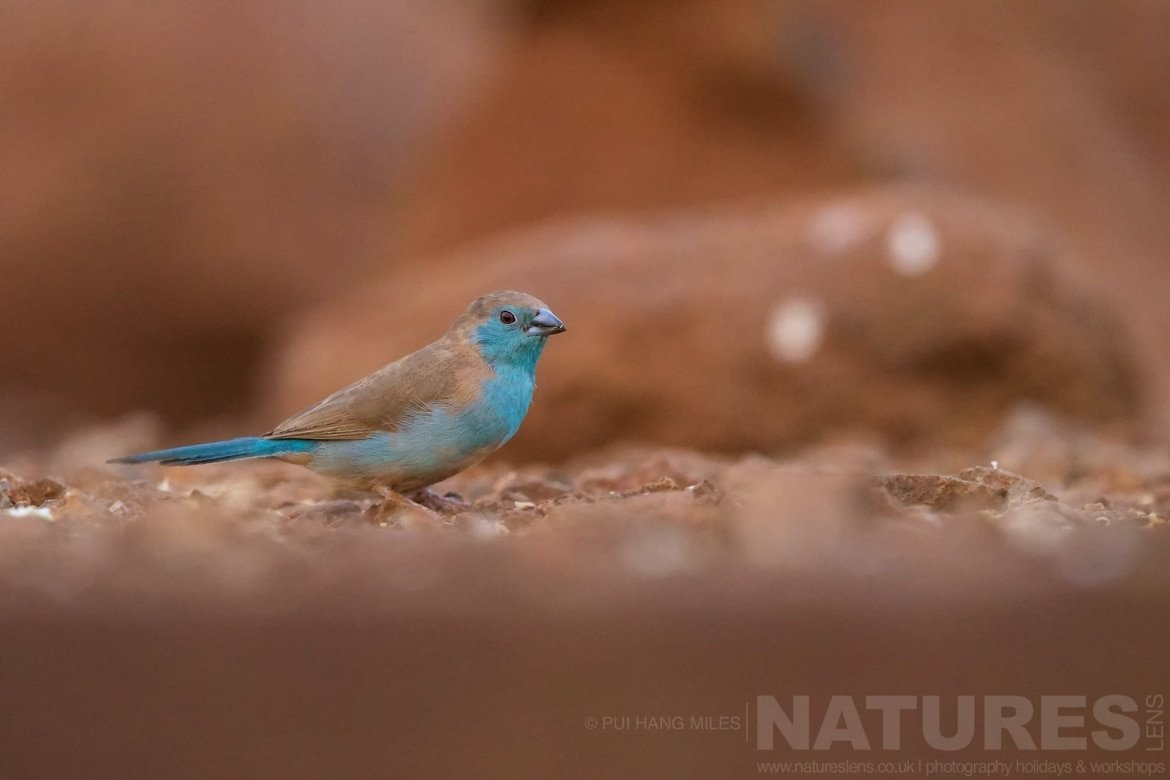 Blue Waxbill Looking For Food   Captured During The Natureslens African Wildlife Zimanga Photography Holiday