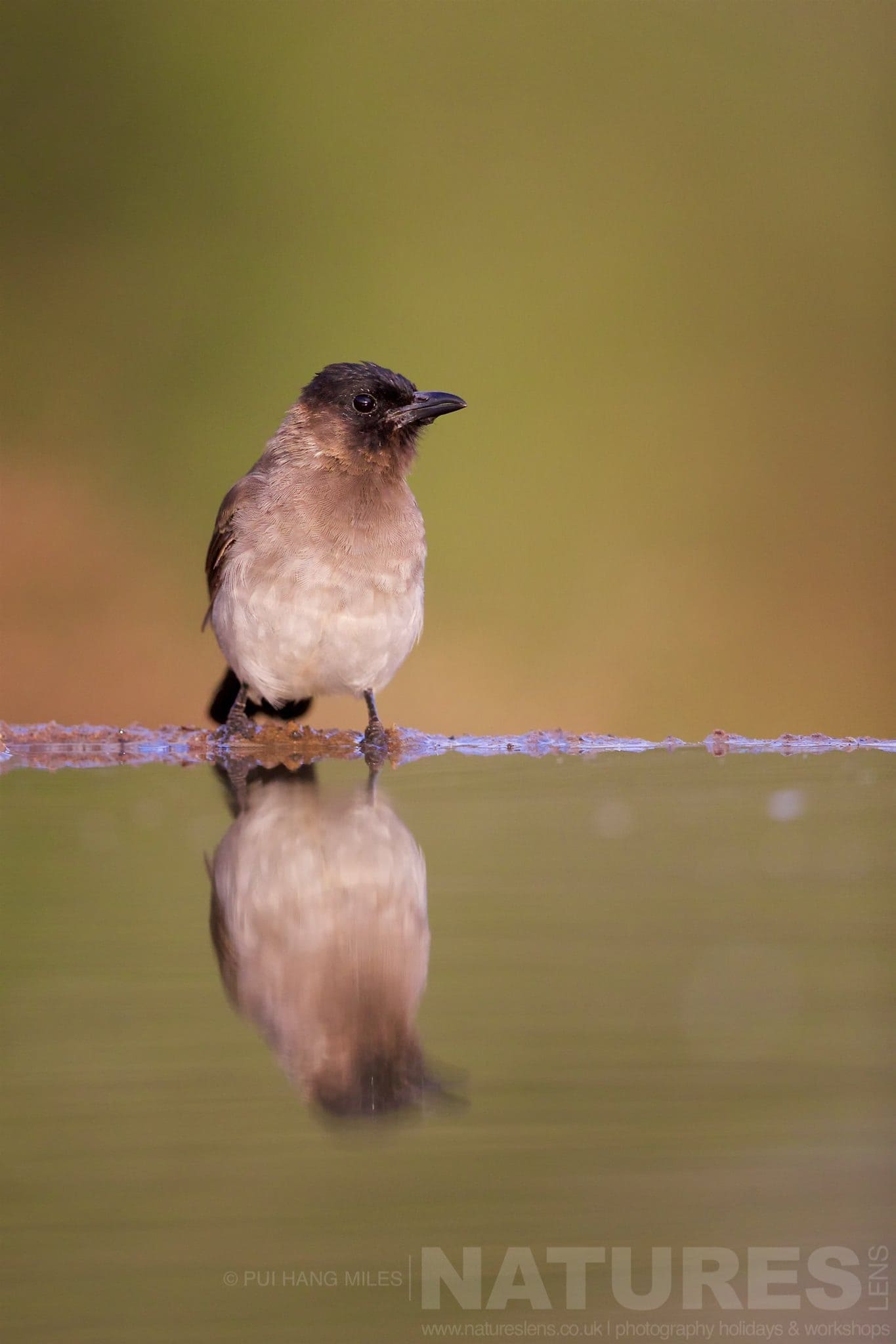 Bulbul Reflection   Captured During The Natureslens African Wildlife Zimanga Photography Holiday