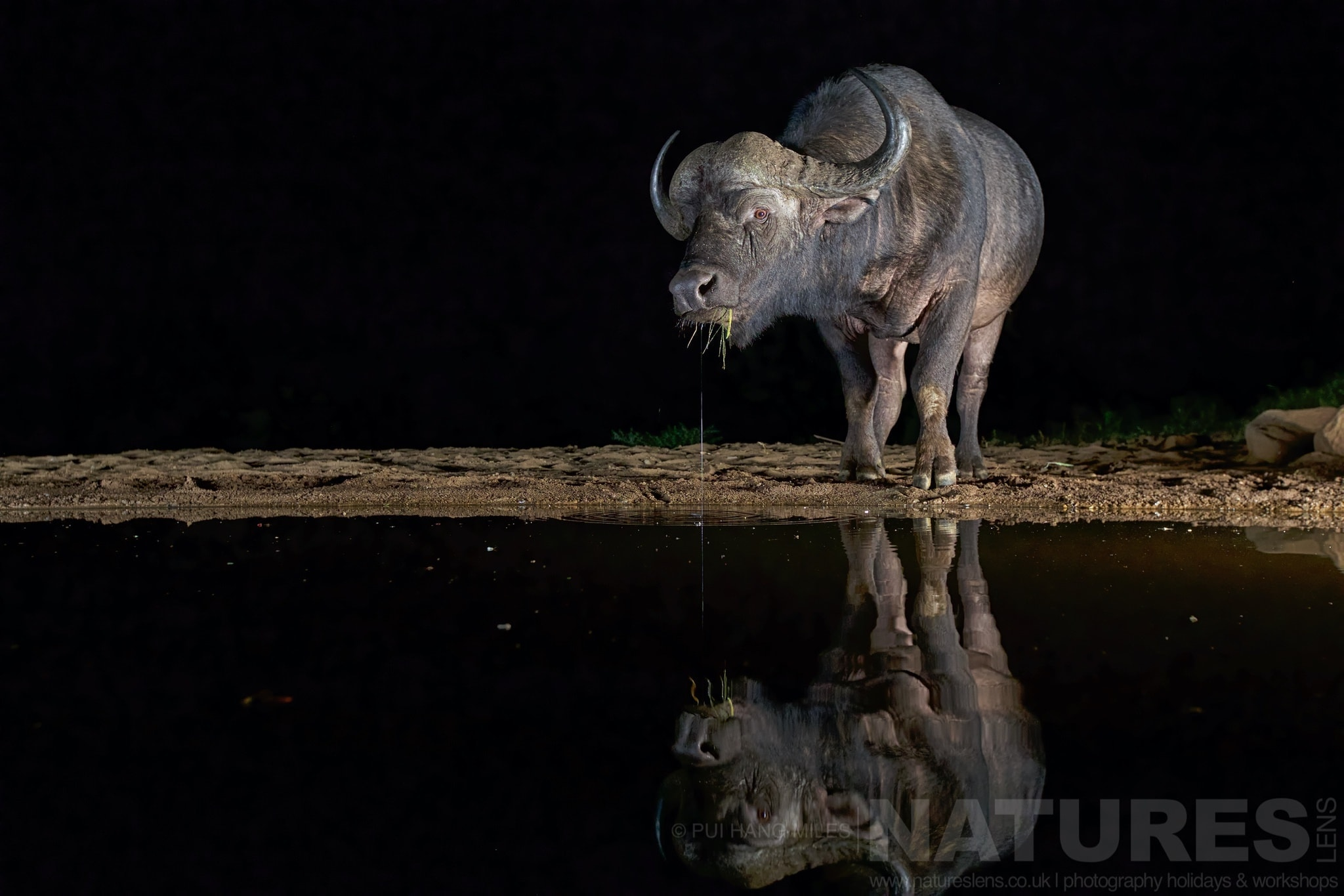 Cape Buffalo Reflection   Captured During The Natureslens African Wildlife Zimanga Photography Holiday