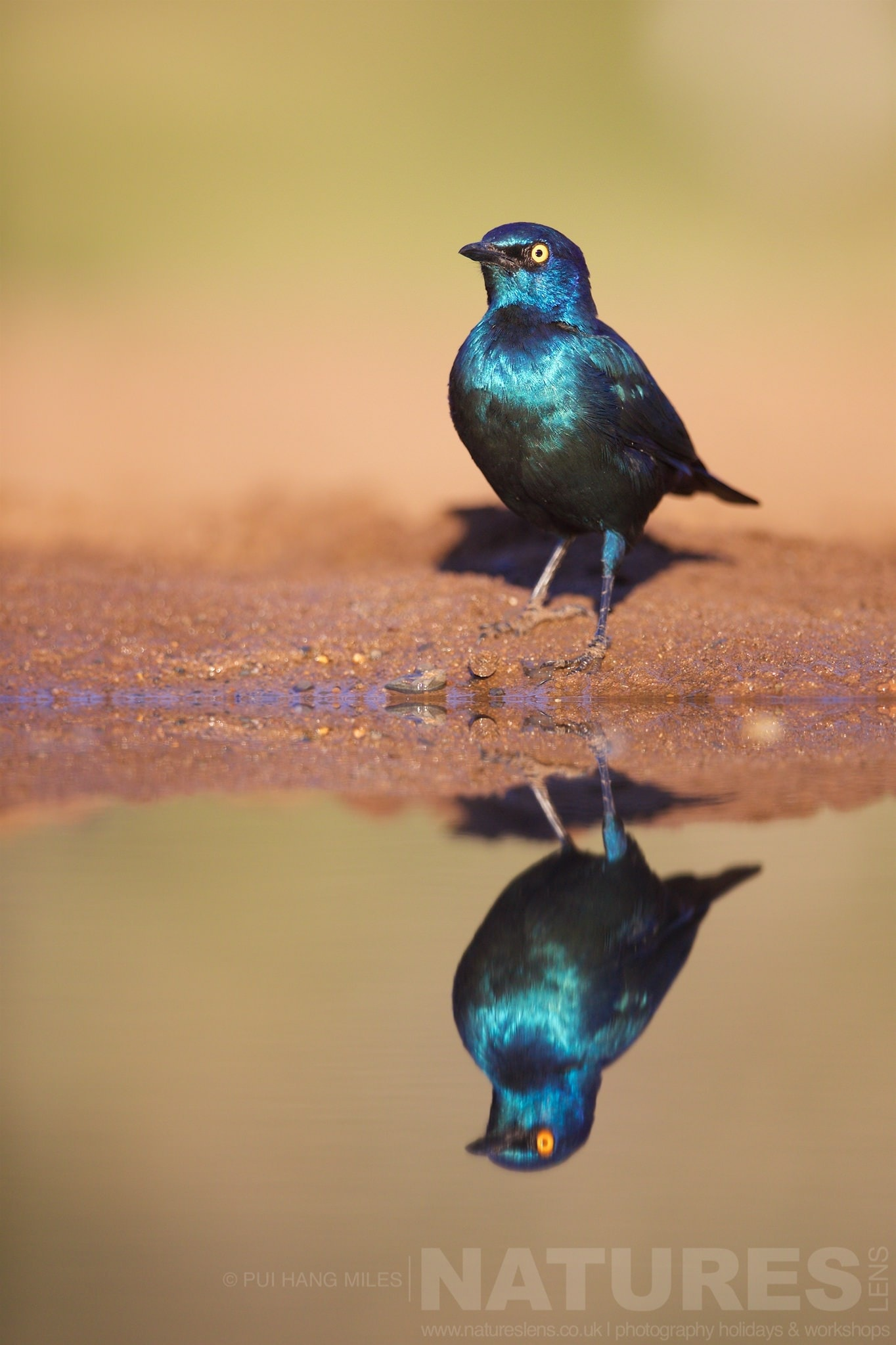 Cape Glossy Starling Reflection   Captured During The Natureslens African Wildlife Zimanga Photography Holiday