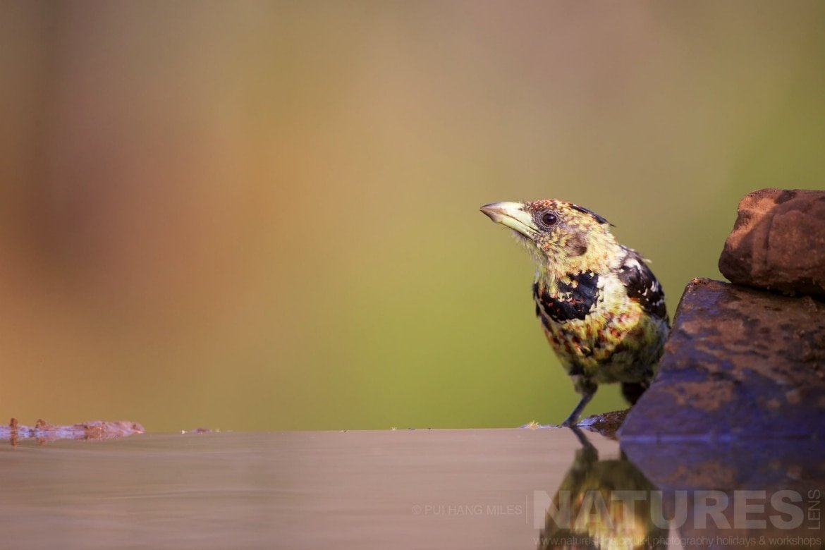 Crested Barbet Captured During The Natureslens African Wildlife Zimanga Photography Holiday
