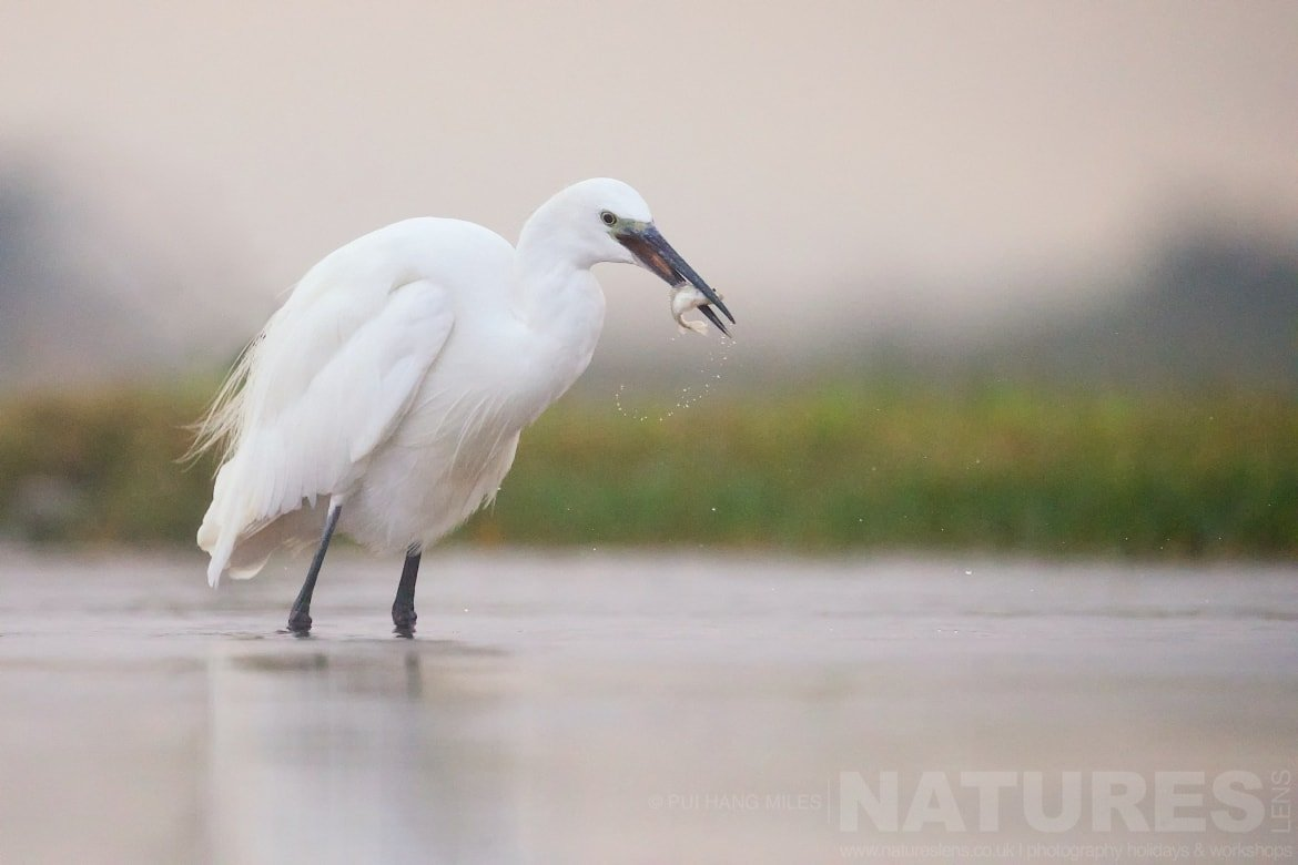 Egret With A Fish Breakfast   Captured During The Natureslens African Wildlife Zimanga Photography Holiday