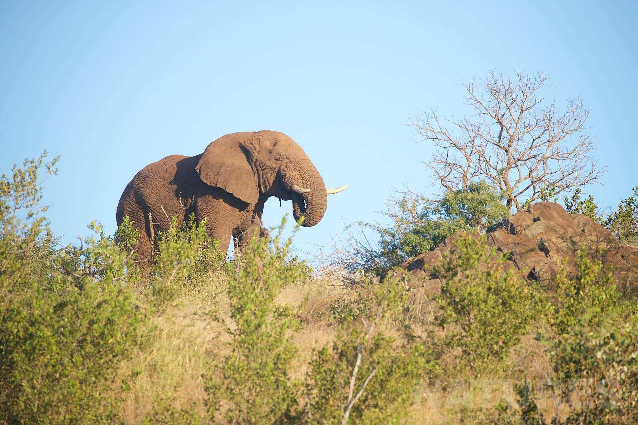 Elephant Eating As He Walks Along The Ridge Captured During The Natureslens African Wildlife Zimanga Photography Holiday