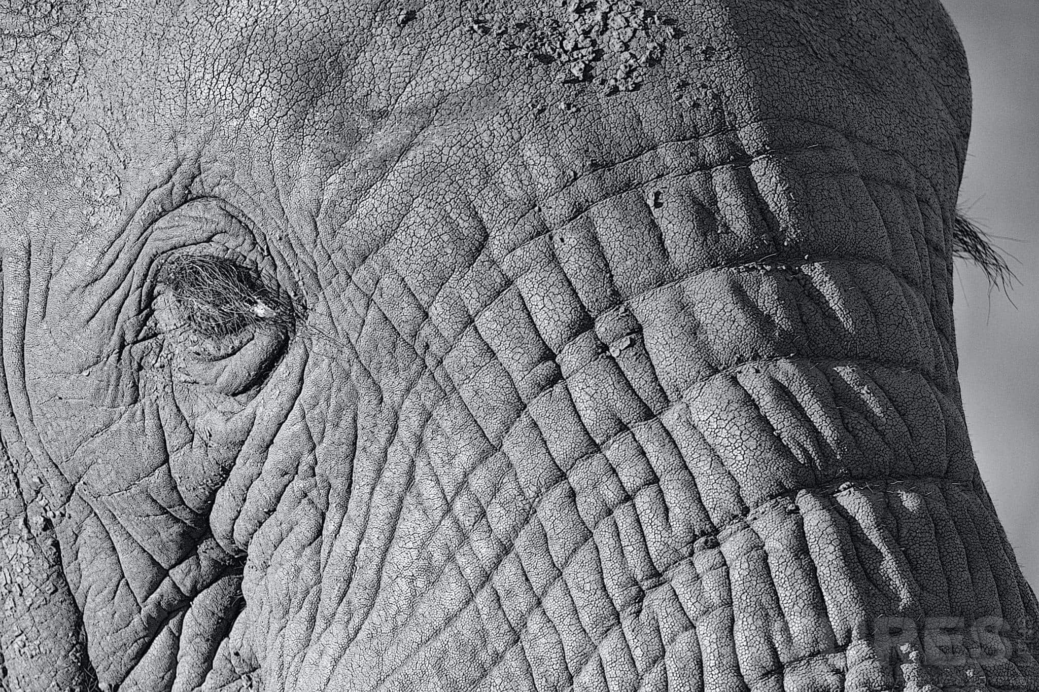 Elephant Eyelashes In Monochrome   Captured During The Natureslens South African Wildlife Zimanga Photography Holiday