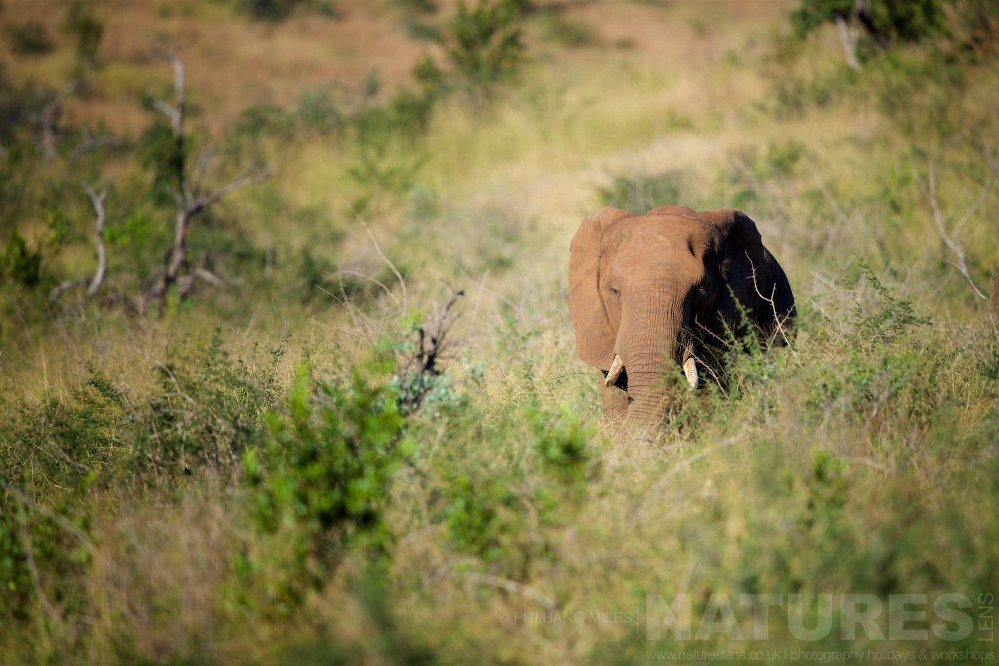 Elephant In Long Grass   Captured During The Natureslens African Wildlife Zimanga Photography Holiday
