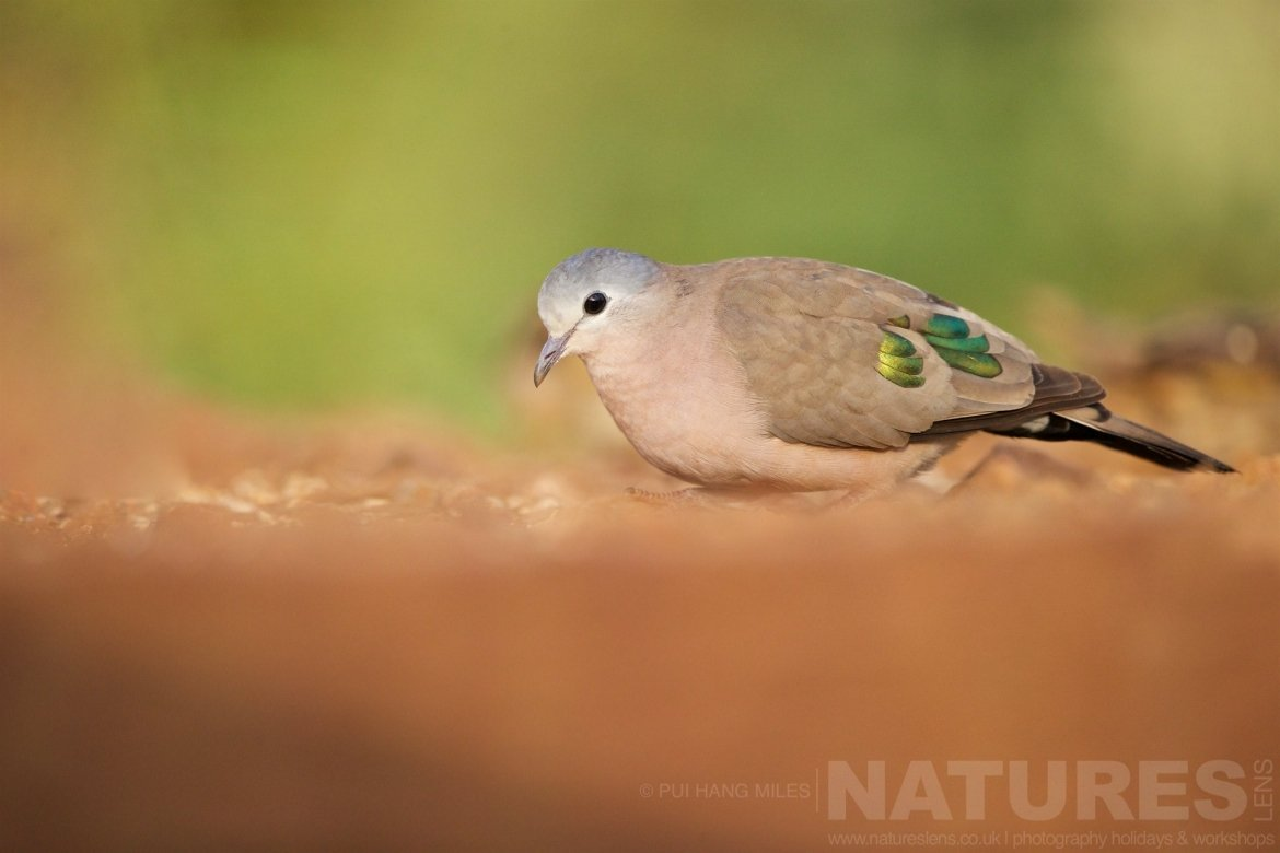 Emerald Spotted Wood Dove Looking For Food Captured During The Natureslens African Wildlife Zimanga Photography Holiday