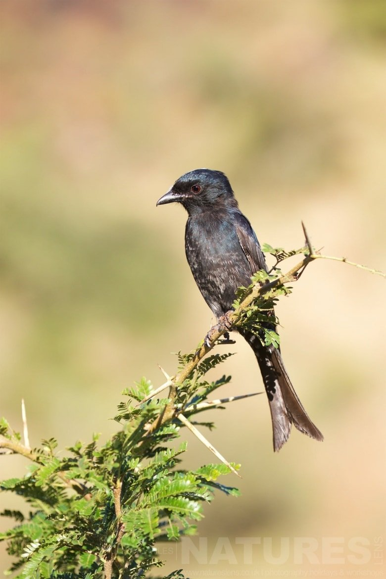 Fork Tailed Drongo   Captured During The Natureslens African Wildlife Zimanga Photography Holiday