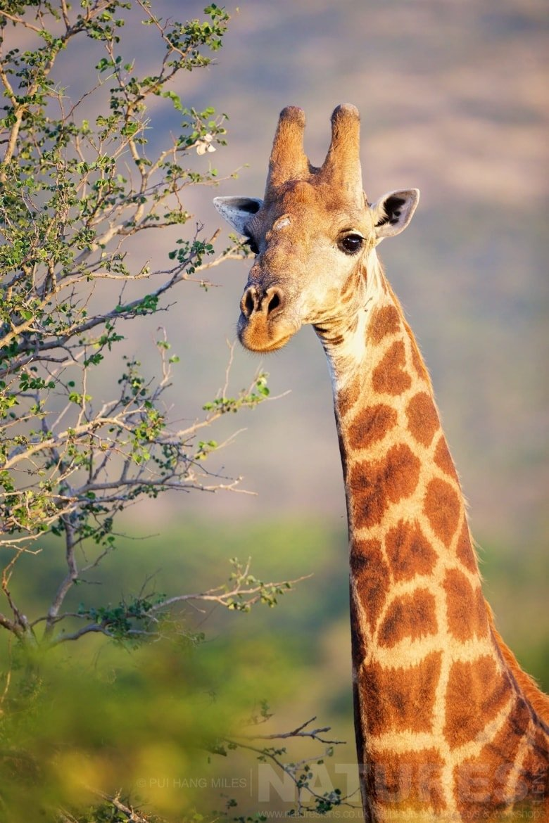 Giraffe Portrait   Captured During The Natureslens South African Wildlife Zimanga Photography Holiday
