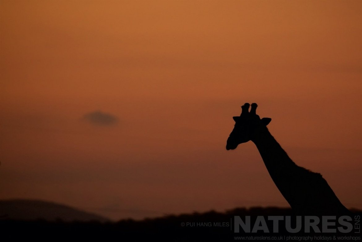 Giraffe Silhouette   Captured During The Natureslens South African Wildlife Zimanga Photography Holiday