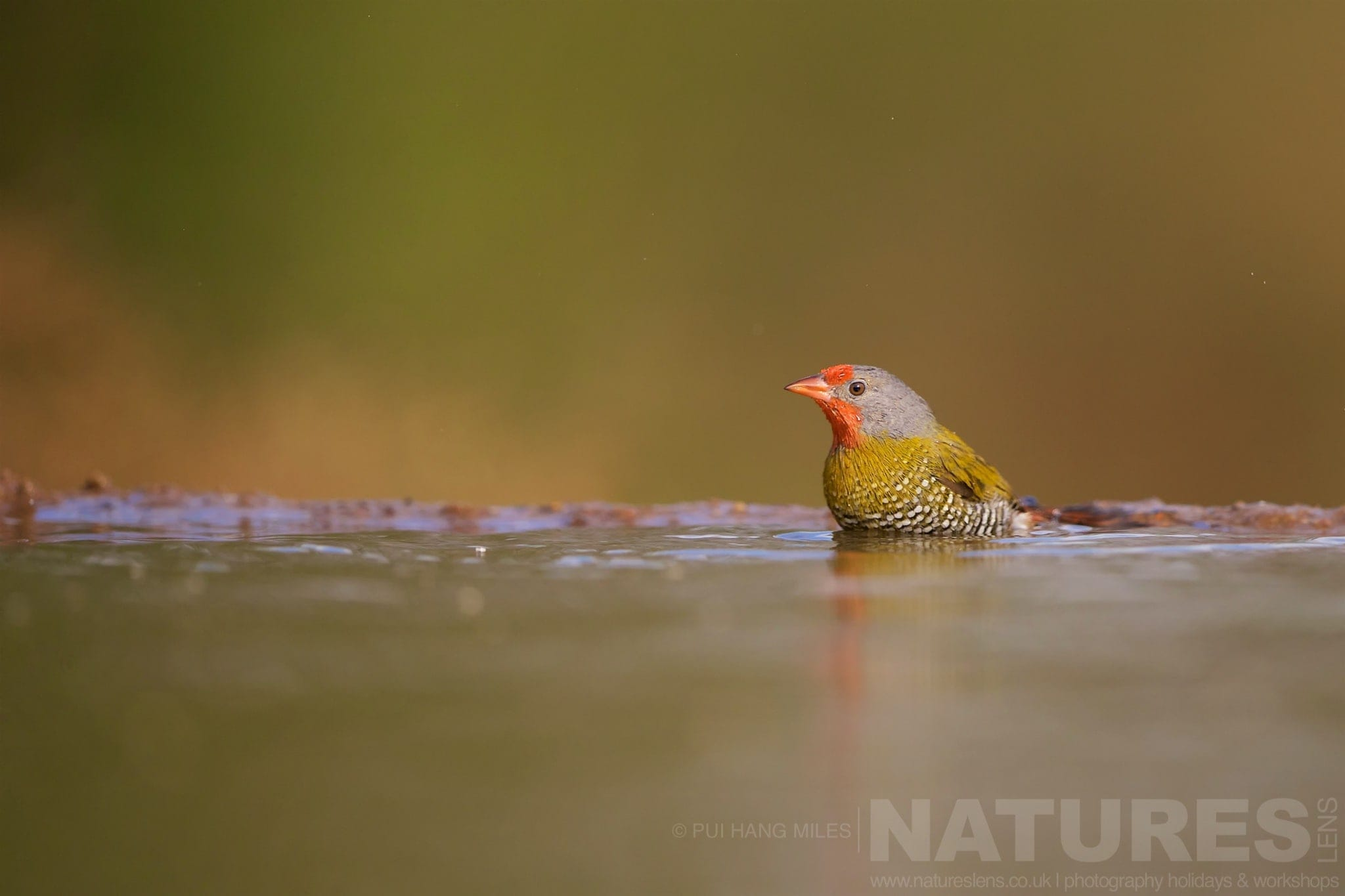 Green Winged Pytilia In A Bird Bath   Captured During The Natureslens African Wildlife Zimanga Photography Holiday