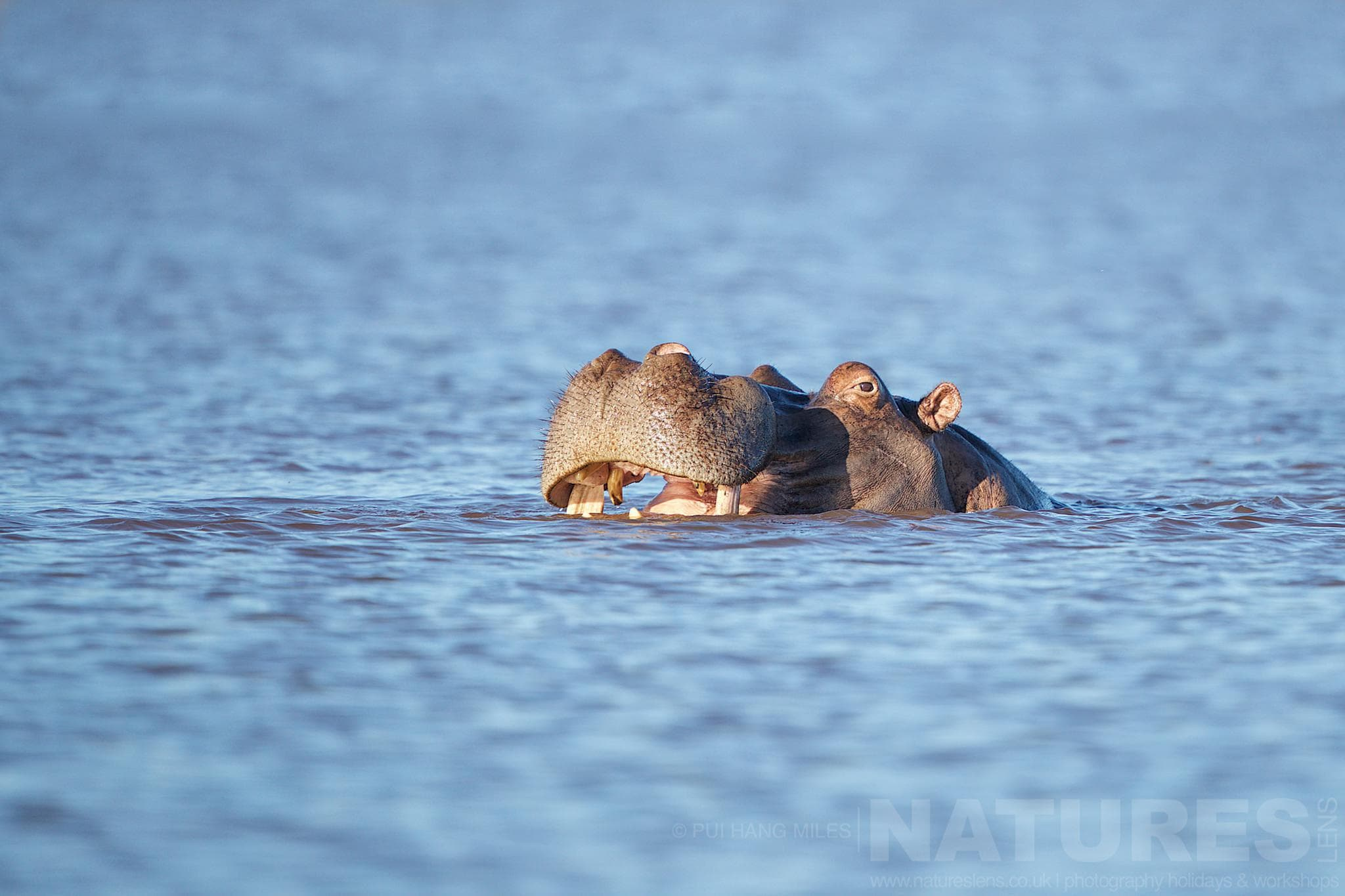 Happy Hippo In Water   Captured During The Natureslens South African Wildlife Zimanga Photography Holiday