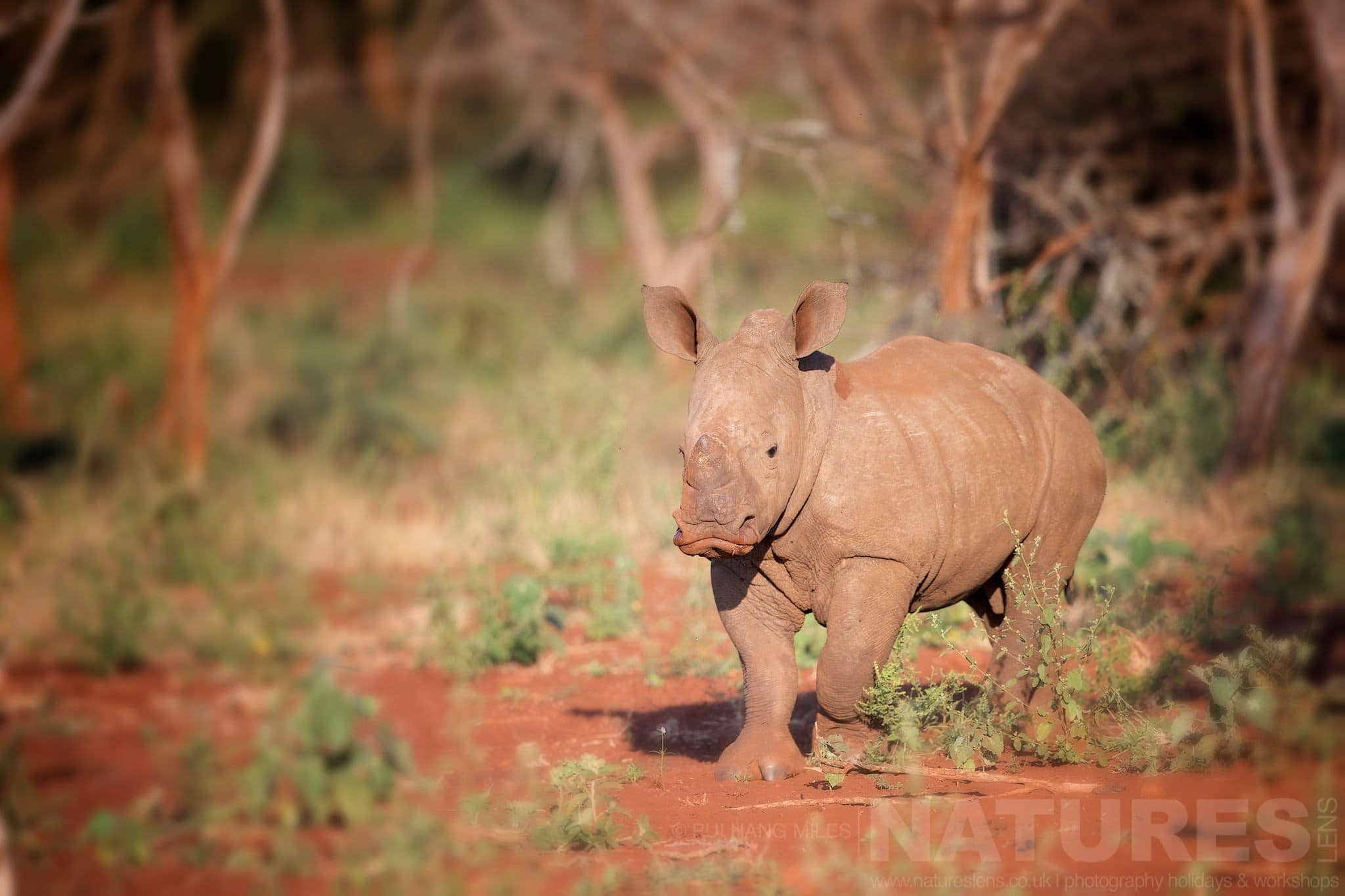 Infant Rhino   Captured During The Natureslens African Wildlife Zimanga Photography Holiday