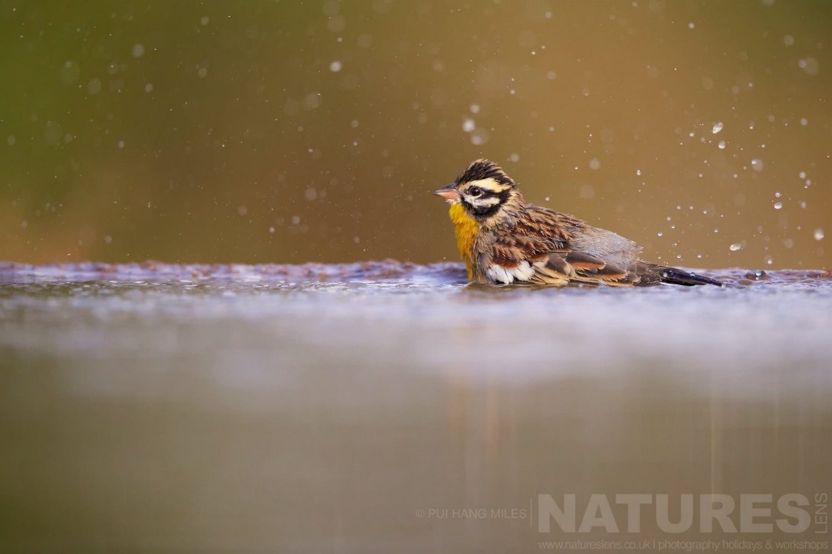 Male Yellow Fronted Canary Taking A Bath   Captured During The Natureslens African Wildlife Zimanga Photography Holiday