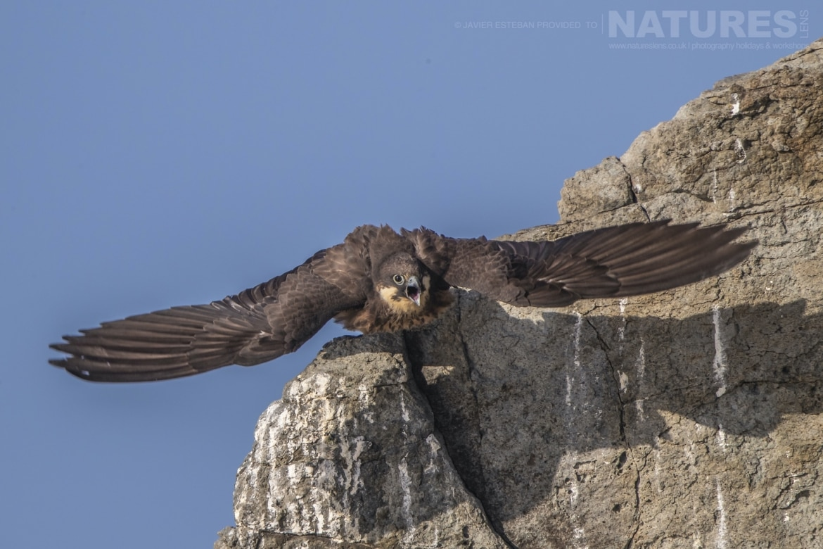 One of the Eleonoras Falcons launches off a cliff face photographed on Sardinia the location for the Eleonoras Falcons of Sardinia Photography Holiday