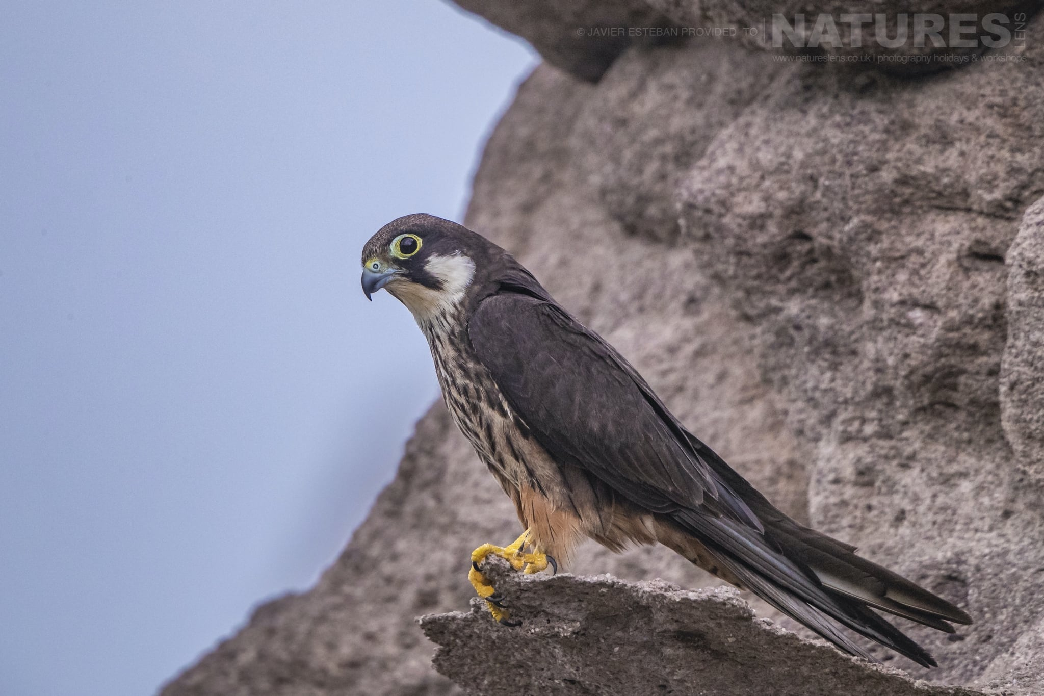 One of the diminuitive Eleonoras Falcons photographed on Sardinia the location for the Eleonoras Falcons of Sardinia Photography Holiday